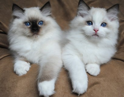 Breathtaking ragdoll kittens Male and female for adoption
