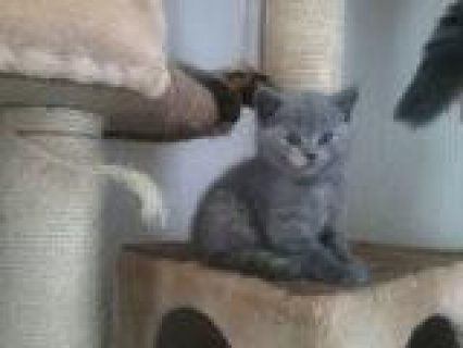 Beautiful male and female British Shorthair Kittens