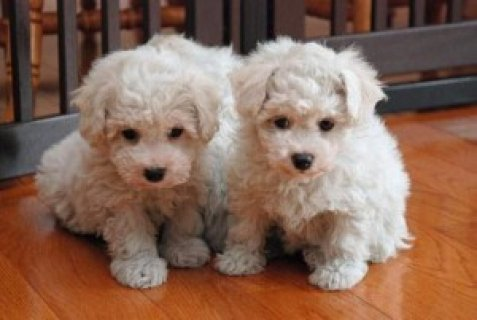 Beautiful Bichon Frise Puppies for pet loving family,,,,,,,,,,,,