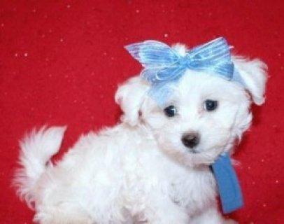 Maltese puppy for Sale................