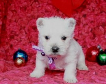 West Highland White Terrier Puppies for Sale!111