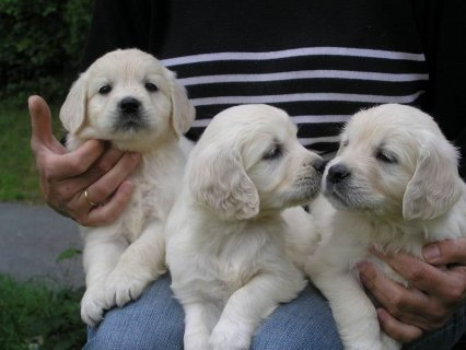 Registered Golden Retriever Puppies for adoption
