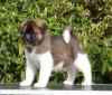 Minaiture AKC Registered Akita Puppies