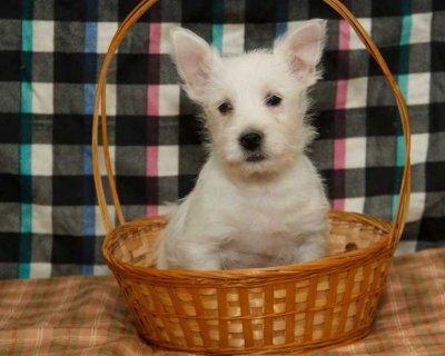 2 West Highland White Terrier for adoption