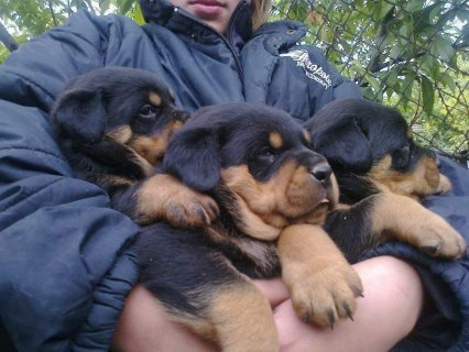 2 Gorgeous Rottweiler Puppies For Rehoming1
