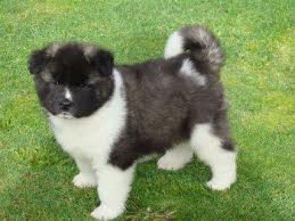Healthy Akita Puppies for adoption111