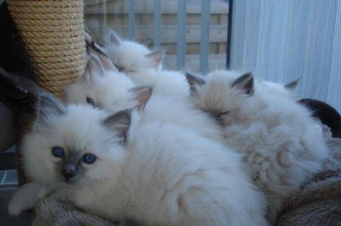 Adorable Birman kittens for adoption 8976