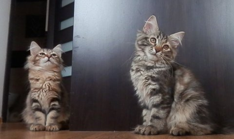 Siberian Kittens Available FOR ADOPTION