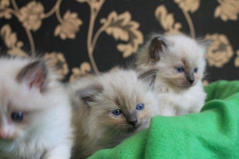 Ragdoll Kittens for sale.0987654
