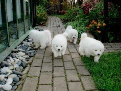 Purebred Samoyed Puppies for Adoption 987
