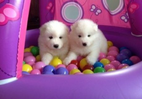 Samoyed Puppies for Sale654