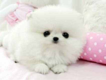 Adorable Male and Female Tiny Teacup Pomeranian Puppie