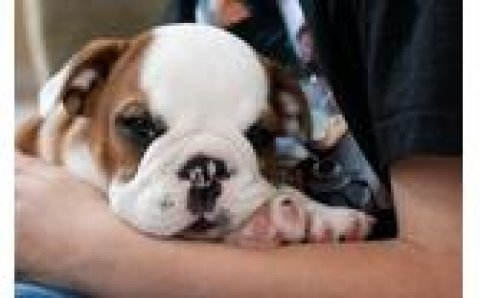 Cute Female And Male bulldog Puppies For Adoption