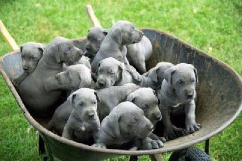 Great Dane male and female puppies to give out