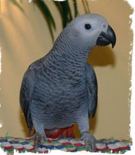 Healthy African Grey Parrot