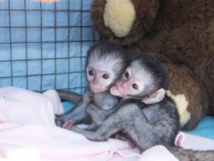 Freshly Vet Checked Home Trained Capuchin Monkeys for Adoption
