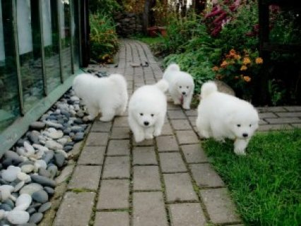 Charming male and female Samoyed pups for adoption  2222222222