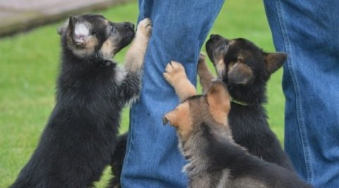 German Shepard Puppies Available for Free Adoption 526526
