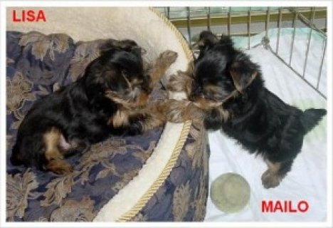 Affectionate and charming Yorkies puppies for adoption