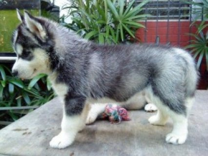 Siberian Husky Puppies for Sale 876543