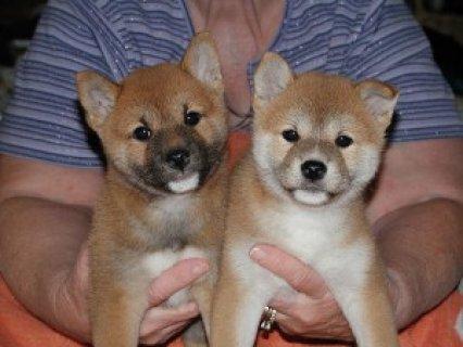 Cute Shiba Inu puppies for adoption
