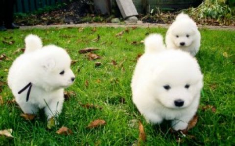 MALE AND FEMALE SAMOYED PUPPIES for adoption! 65432