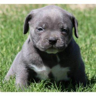 Beautiful Pitbull Puppies for Adoption!! e34