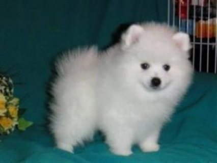 Lovely Pomeranian Puppies for Sale 87654