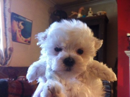 Very Sweet Charming Maltese Puppies