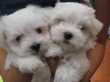 Maltese Puppies Available 123456