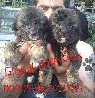 كلب قوقازي عملاق للبيع