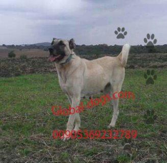 كلب كنجال عملاق (كنغال ) للبيع