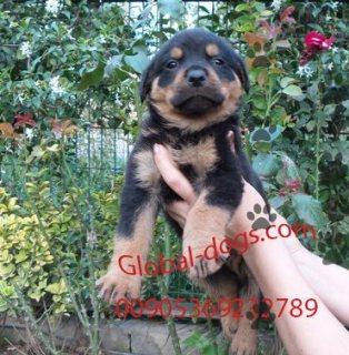 كلب روت وايلر الشرس للبيع دبي - 29467