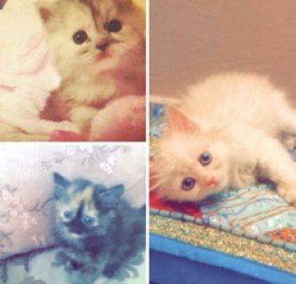 قطط شيرازي اصلي للبيع