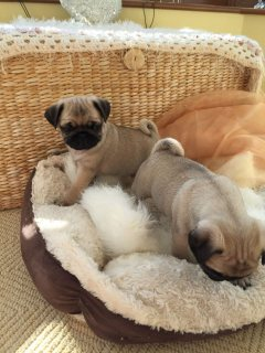 Black And Grey Pug Puppies Availabe For Rehoming