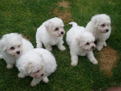 Cute Bichon Frise puppies For Rehoming