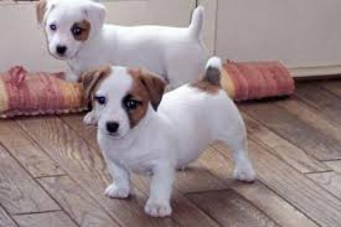Two Jack Russell Pups for sale