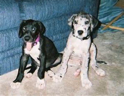 Great Dane Puppies Available For Rehoming