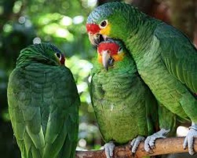 Amazon parrots for an incredibly affordable fee