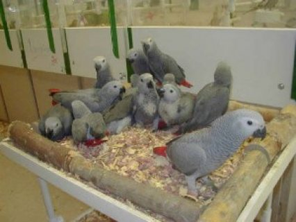 African grey parrots for good homes only