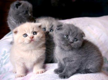 Unusual Black Scottish Fold Kittens Kitten