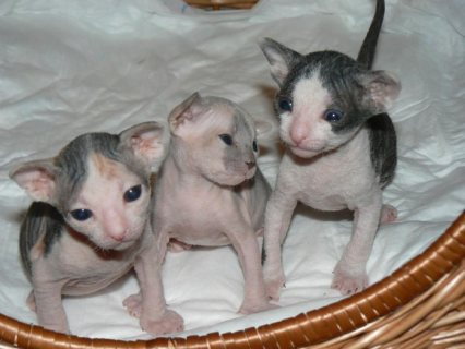 Male and a female Sphynx kittens for adoption.