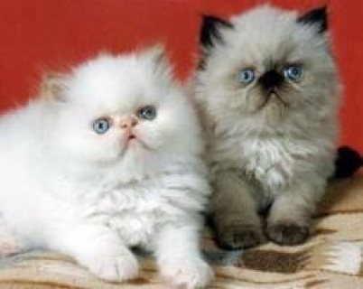 Available Himalayan Kittens