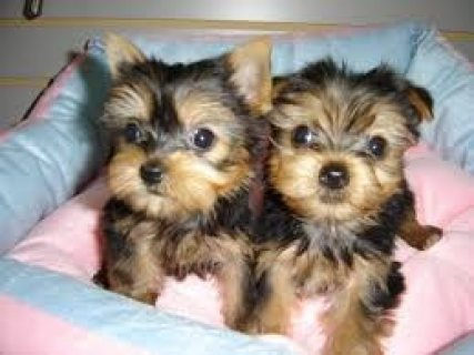 Home bred and well socialized Yorkie Puppies