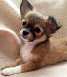 Charming Chihuahua Puppies