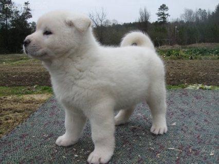 Stunning Japaneses Akita Puppy