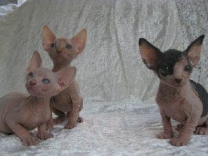 Sphynx / Peterbald Kittens