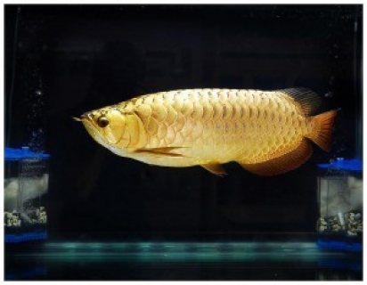 Arowana fish for sale 29952 for Arowana fish for sale online