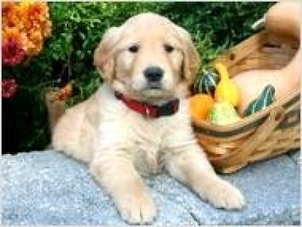 Golden Retriever Puppy available now,,,,...................///