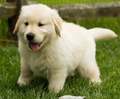 Male and Female Golden Retriever Puppies Available...../////////